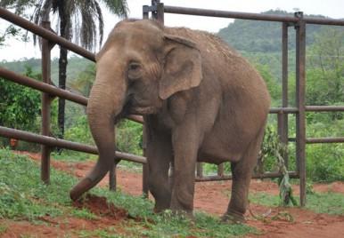 Depois de 40 anos em cativeiro, elefantes resgatados do circo são devolvidos à natureza, no Brasil.